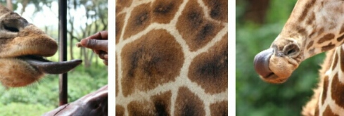 giraffe-centre-nairobi-kenya-11