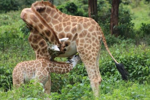 giraffe-centre-nairobi-kenya-16