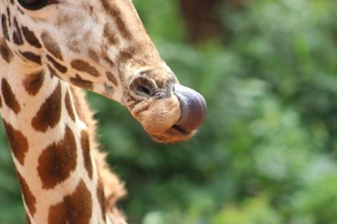 giraffe-centre-nairobi-kenya-17