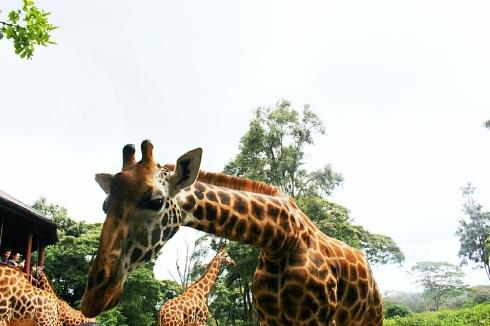 giraffe-centre-nairobi-kenya-4