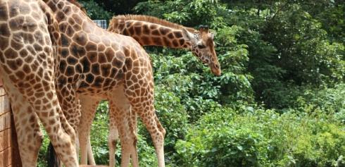 giraffe-centre-nairobi-kenya-5