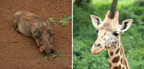 Giraffe-centre-warthog-nairobi-kenya