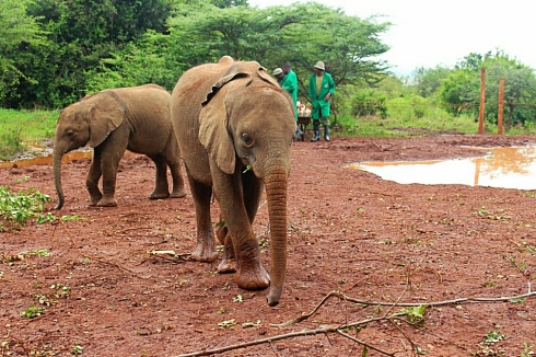 David Sheldrick Wildlife Trust DSWT Elephant Nairobi 11