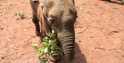 David Sheldrick Wildlife Trust DSWT Elephant Nairobi (3)