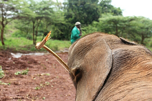 David Sheldrick Wildlife Trust DSWT Elephant Nairobi 4